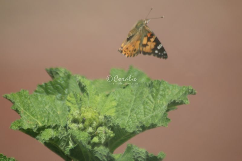 Painted Lady Butterfly Laying Eggs