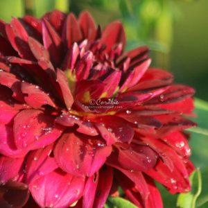Arabian Night Dahlia Flower Bloom 061