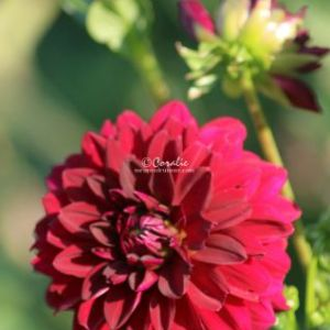 Arabian Night Dahlia Flower Bloom 065 Web Download