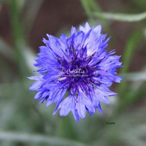 Bachelor Button flower 010