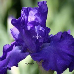 Bearded Iris Flower 007 Print Download