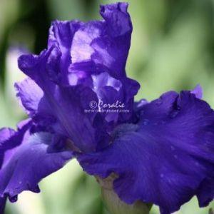 Bearded Iris Flower 007 Web Download