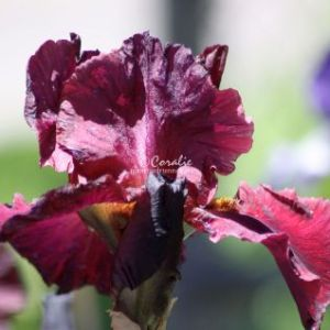 Bearded Iris Flower 008 Web Download