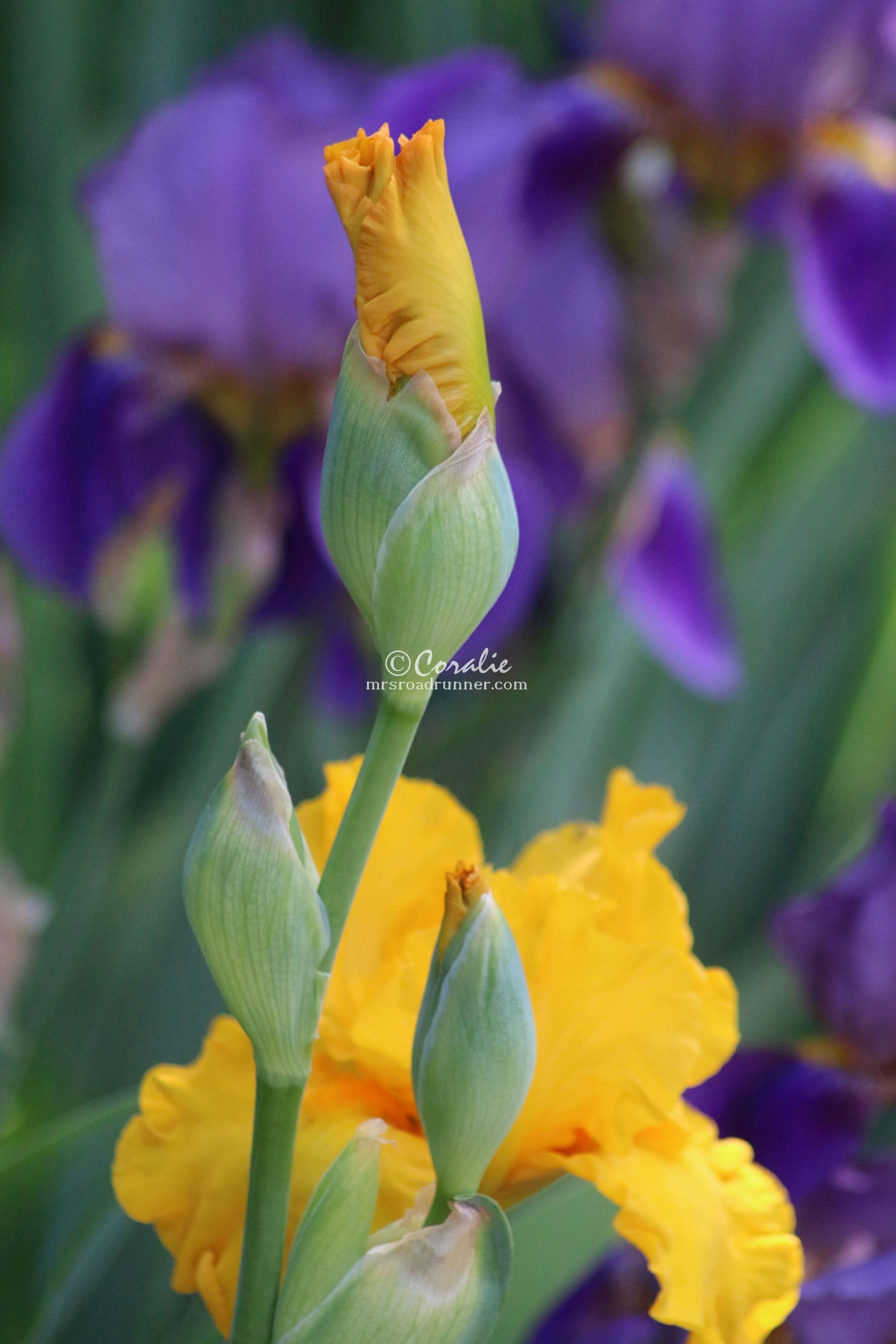 Iris Flowers Blooming