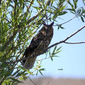 Long Eared Owl 1131