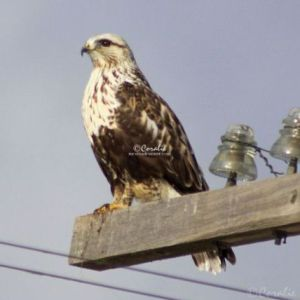 Rough-legged Hawk 584 Web Download