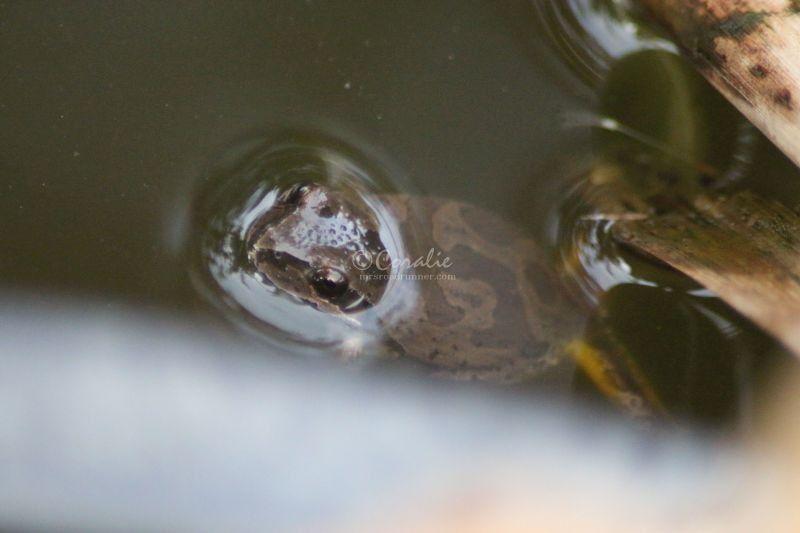 Yellow Legged Frog Of Oregon