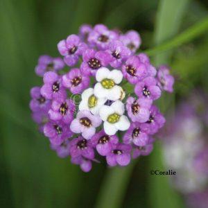 alyssum small flower bloom 142