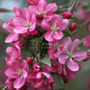 Apple Blossoms 027 Print Download