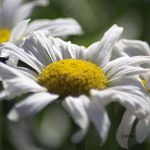 the cascade daisy flowers 004