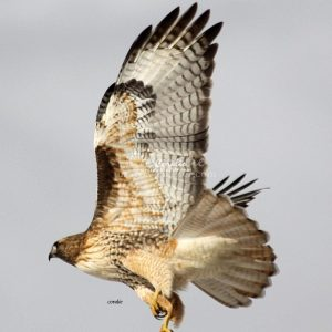 Red Tailed Hawk Eating 1057 Print Download