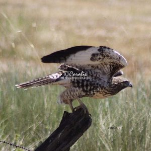 wild hawk bird 1480