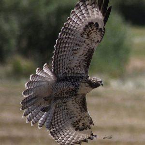Wild Hawk Wings Spread 1484 Print Download