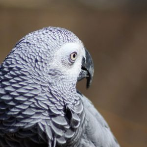 African Grey Parrot 036 Print Download