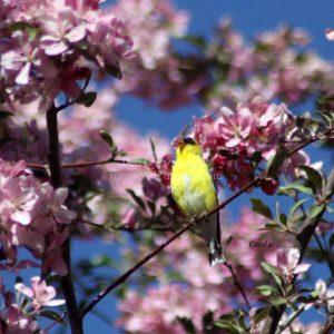 American Goldfinch Bird 424