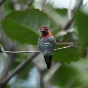 Annas Hummingbird Color 208 Web Download