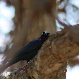 brewers blackbird 064