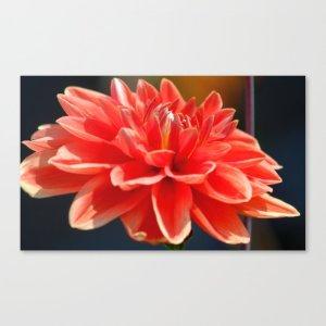 Portrait Of A Dahlia Bloom Canvas Print