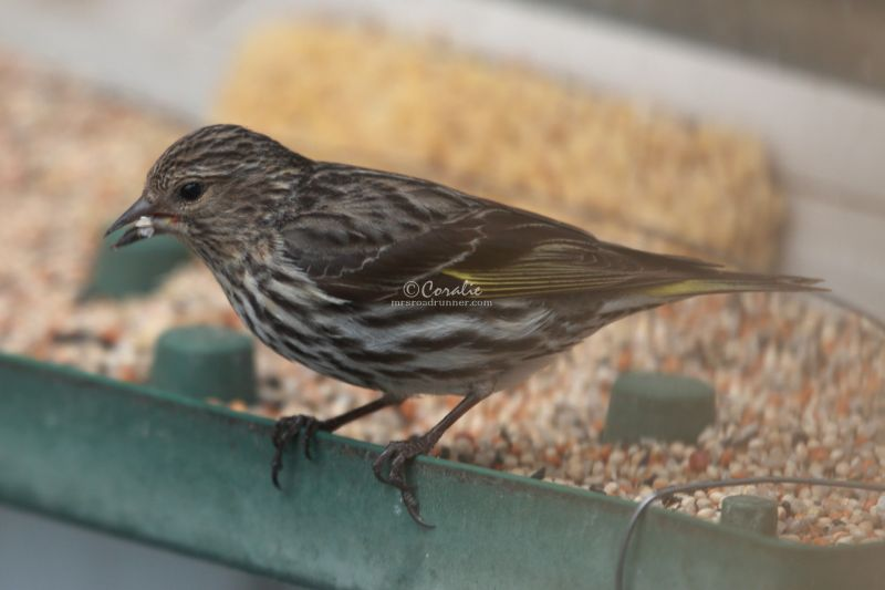 Pine Siskin Bird In The High Desert