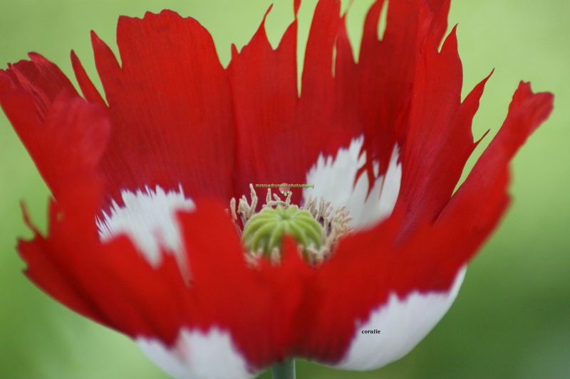 Danish Flag Poppy Flower