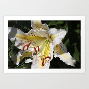 Flashy White Yellow Lily Flower Art Print