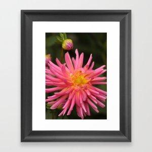dahlia flower in the flower bed Framed Art Print