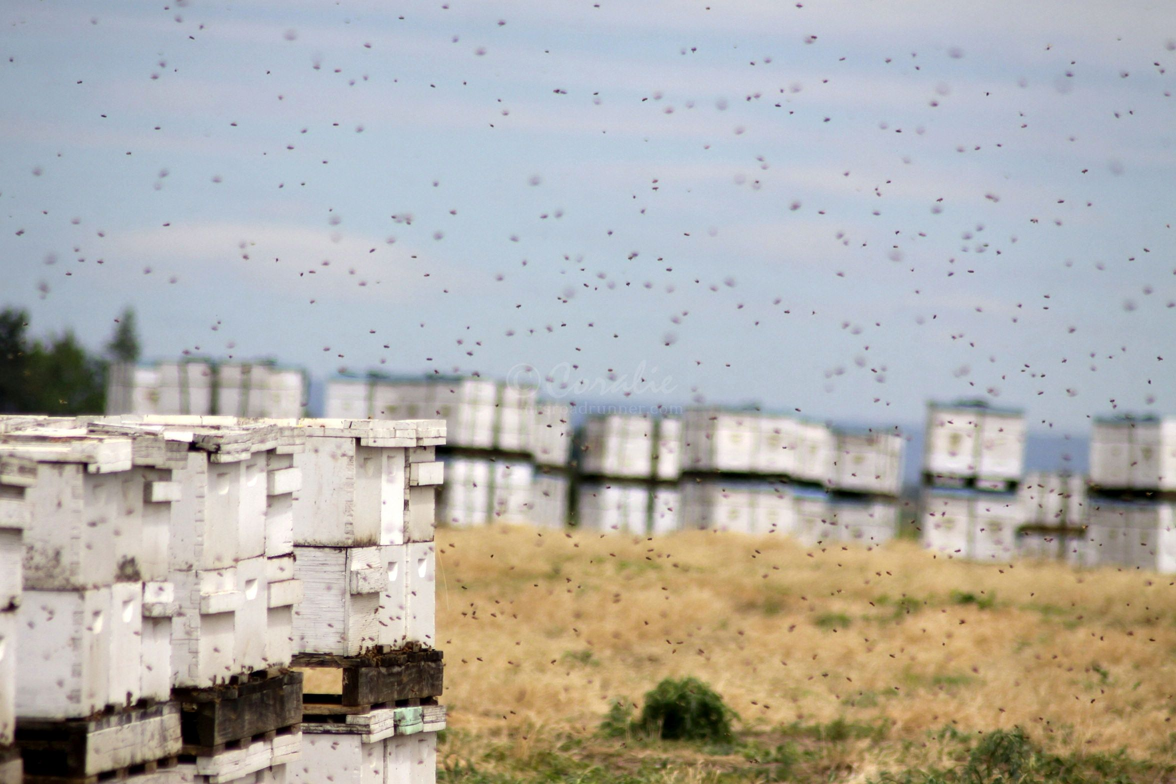 Honeybee Arrival In Jefferson County Oregon