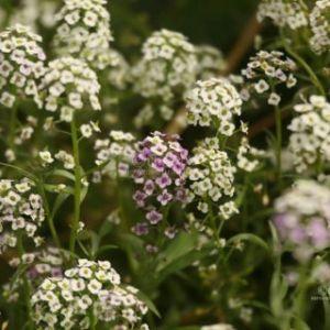 Alyssum Flowers T38A5023 Web Download