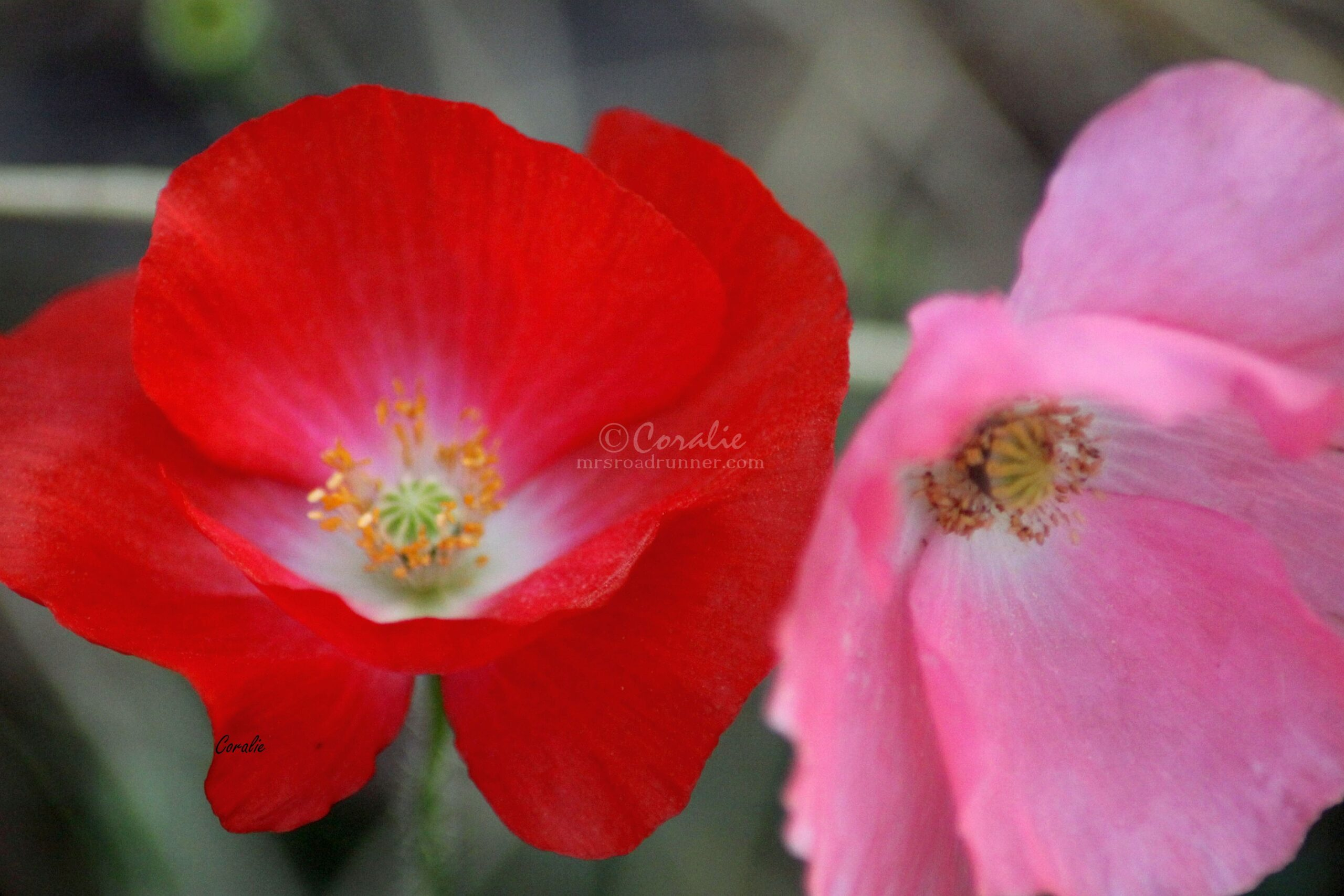 Colors of the Poppy Flowers 315