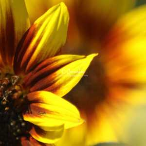 Colors of the Sunflower 081
