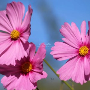 Cosmos Flower Bloom 004 Print Download