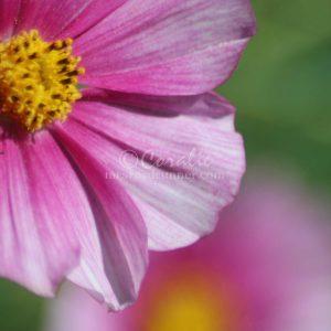 Cosmos Flower Bloom 050 Print Download