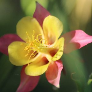 Columbine Flower Bloom 022 Print Download