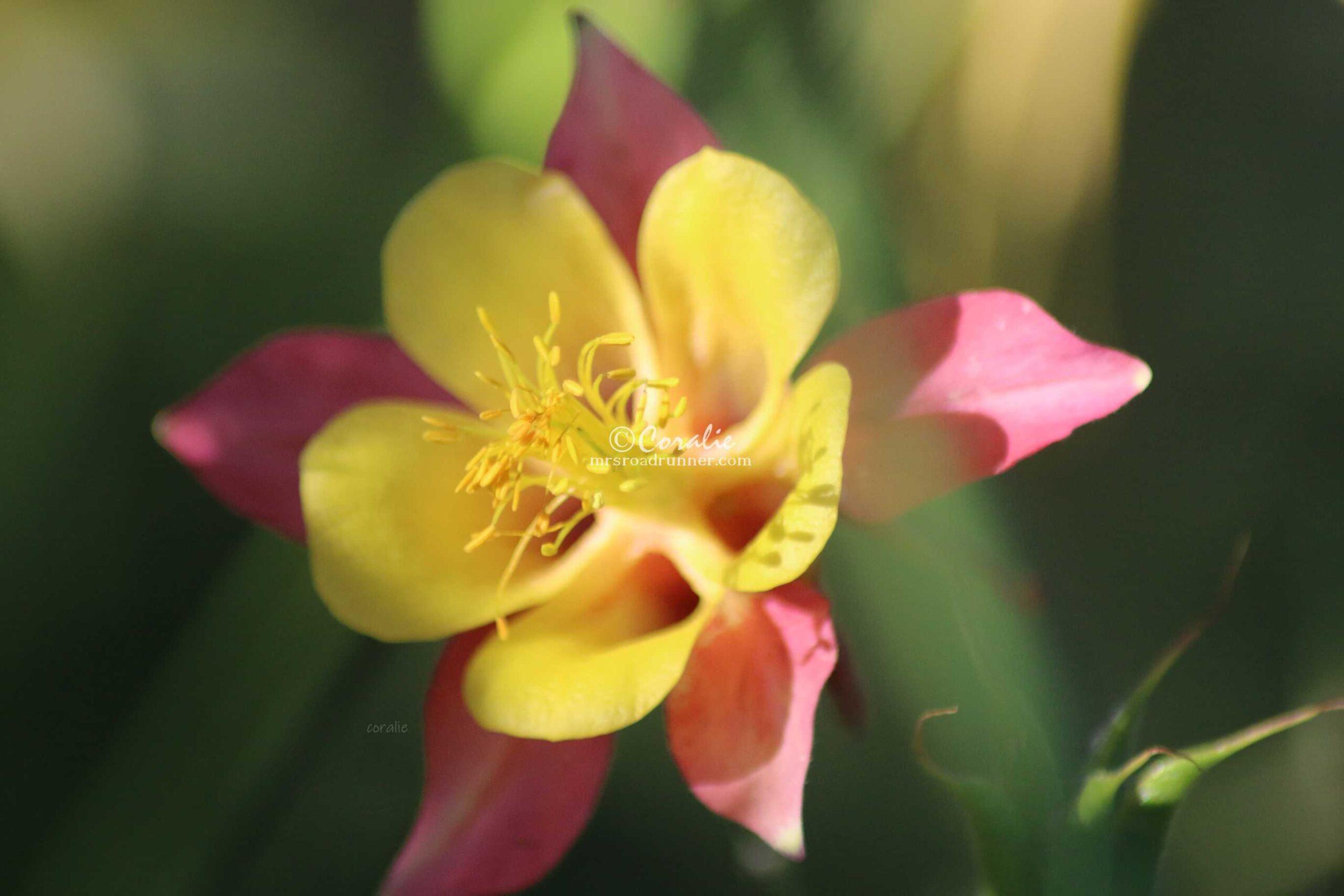 Columbine Flower Bloom 022