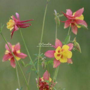 Columbine Flower Bloom 030 Print Download