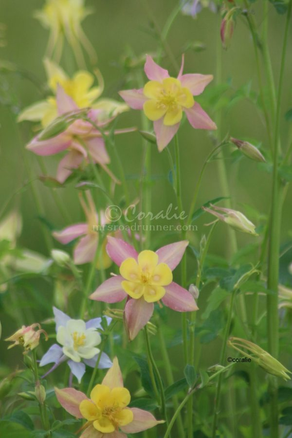 Columbine Flower Bloom 039