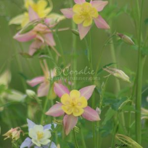 Columbine Flower Bloom 039
