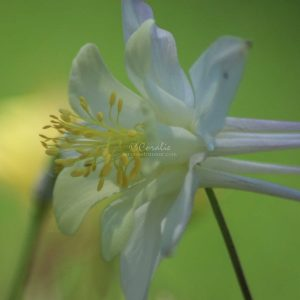 Columbine Flower Bloom 307 Print Download