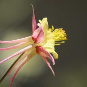 Columbine Flower Blooming In The Garden 343 Print Download