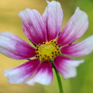 Cosmos Flower Bloom 012