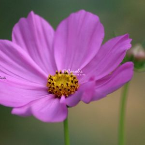 Cosmos Bloom and Bud 160 Print Download