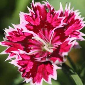 dianthus flower T38A1233