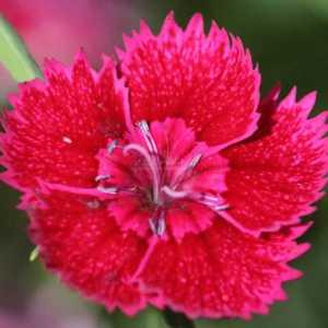 dianthus flower T38A1237
