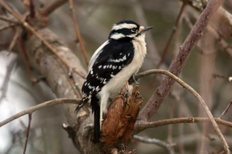 Downy Woodpecker Here At Home
