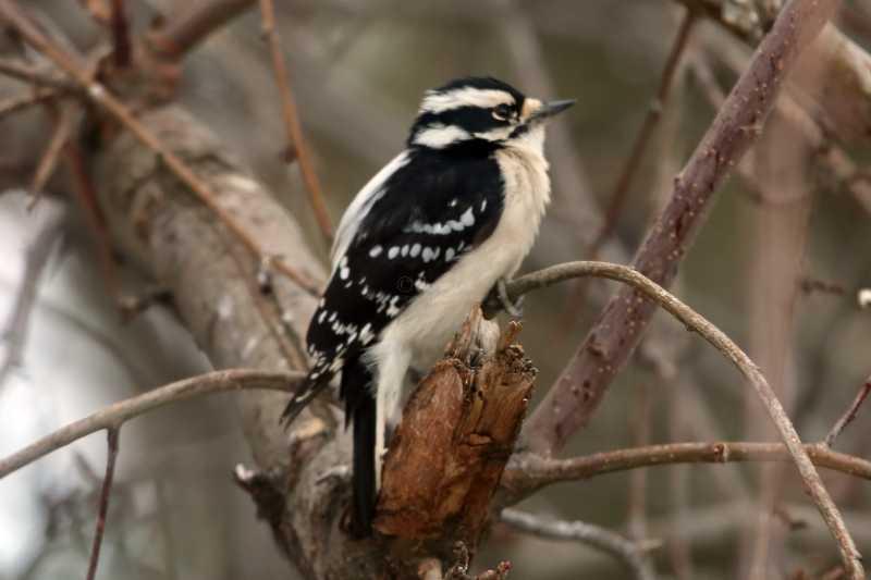 downy woodpecker 4