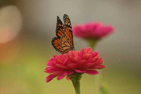 monarch butterfly on zinnia T38A5089