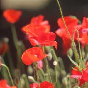 poppy flowers T38A2274