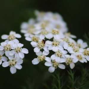 queen ann lace flower T38A1463