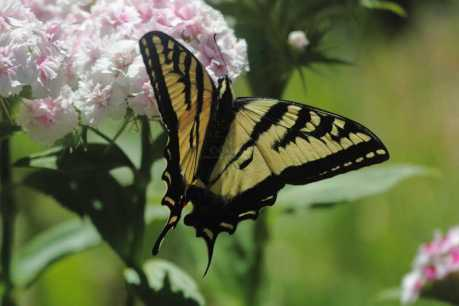 swallowtail butterfly sweet williams flowers T38A2284