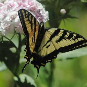 swallowtail butterfly sweet williams flowers T38A2284